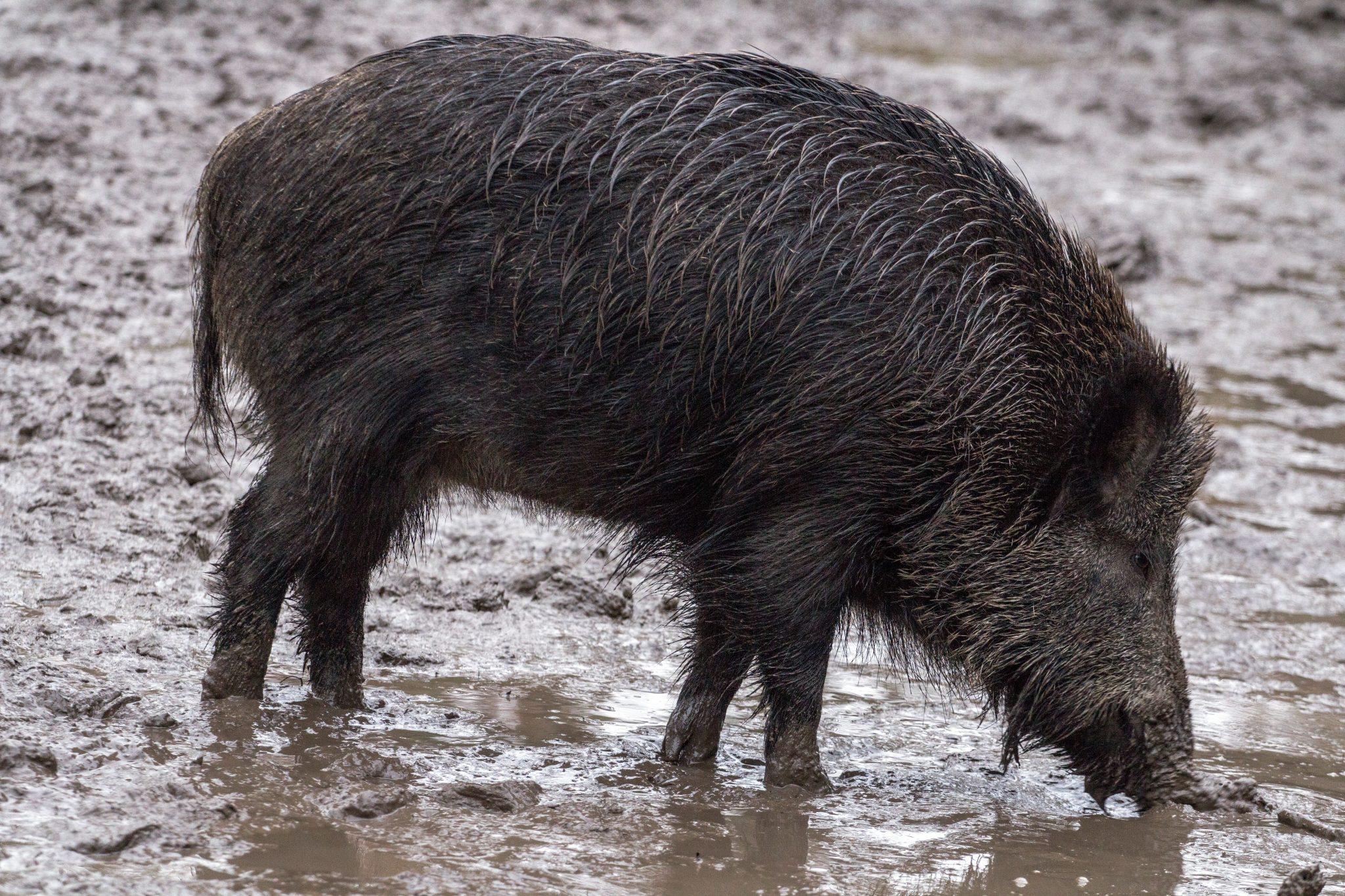 Wildschwein radioaktiv